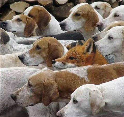 hounds and fox