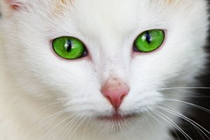 green eye cat